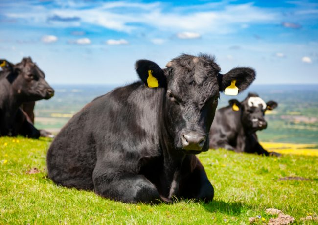 Make Quality Cows Raised in South Dakota Part of Your Herd at Home
